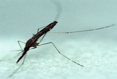 경기도 파주지역 말라리아 원충에 감염된 얼룩날개모기 올해 첫 확인!