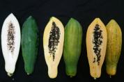 '파파야' 익으면 과일, 덜 익으면 몸에 좋은 채소