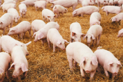 이달 25일부터, 돼지에게 남은음식물 직접 처리 급여 금지