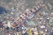 4대강 보 건설 이후 최초로 금강 세종보 하류에서 멸종위기종Ⅰ급 흰수마자 발견